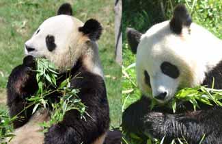 Pandas au zoo de Beauval